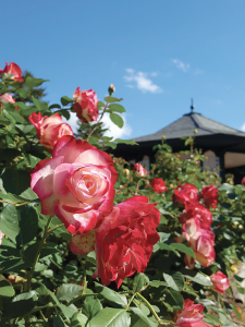 The E.M. Mills Rose Garden is one of the most popular sites within the Thornden Park in Syracuse. The park as a whole has been restored by a group of volunteers from the Thornden Park Association. Photo courtesy of M.F. Piraino.