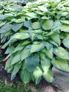 These hosta plants were 24 inches apart. Within two years their lush slug-resistant foliage covered the ground so that not one weed can pop through.