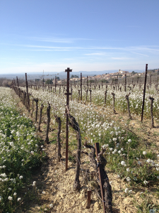 In February, wildflowers abound between the dormant organic grape vines. In the background is the village, with its stone church perched high on the hill.