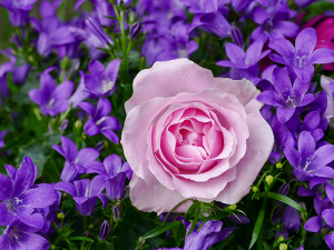 This rose and the accompanying bellflower are planted close enough to touch each other. This kind of dense planting discourages weed growth while giving a nice complementary or contrasting color display.