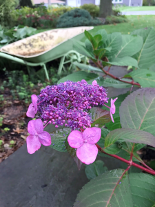 "Hydrangea and wheelbarrow photo taken at the author's home.  ""That is what happy looks like."""