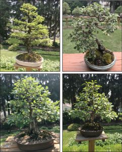 Bonsai trees grown by Carl Hoffner. Bonsai is the art of trimming and manipulating a tree so that it resembles an old, mature tree while keeping it small enough to keep in a pot.