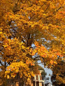 The author has enjoyed this sugar maple tree for decades outside of Baldwinsville.