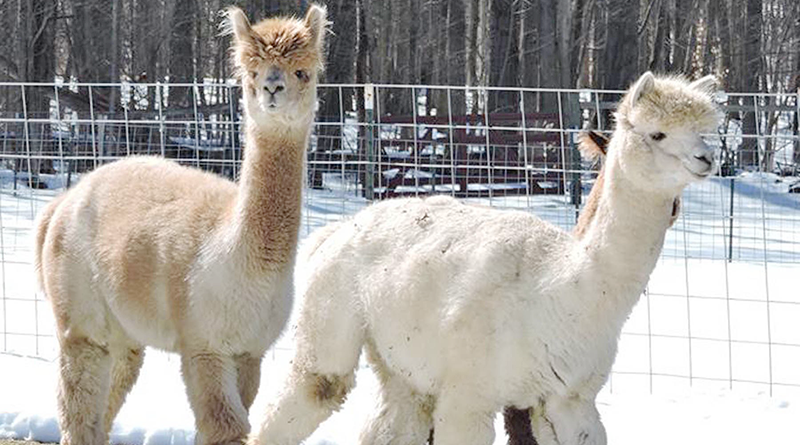 Some of the alpacas at Seven Acres Alpaca Farm in Phoenix.