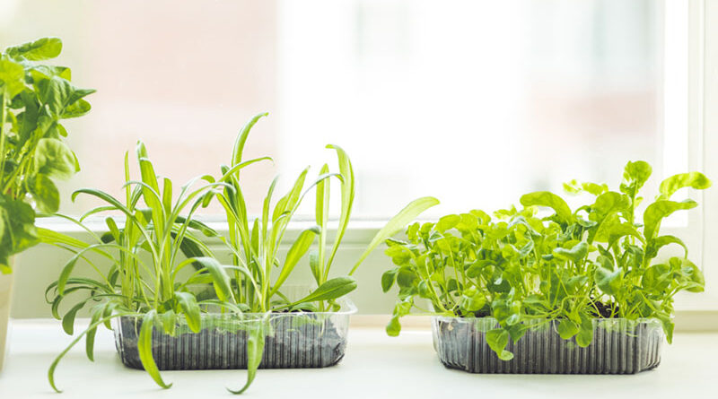 Herbs sprouted in reused containers flourish in a home.